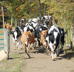 Knollbrook Farm in Goshen, Indiana raises Holstein and Jerseys, in addition to the pumpkin patch and corn maze.